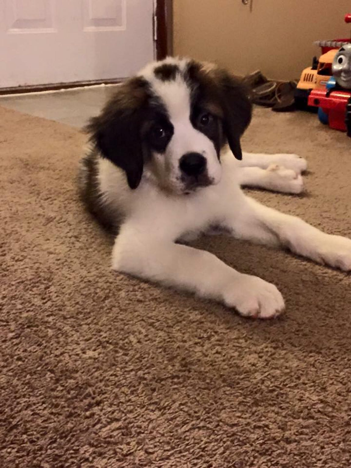 Cash the puppy St. Bernard is pictured in his home