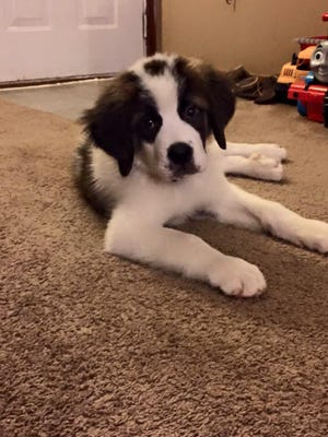Cash the puppy St. Bernard is pictured in his home soon after he was bought by Christian Dunkle from a Petland store in Pickerington. The Enquirer has investigated a series of complaints related to the pet store and sick dogs.