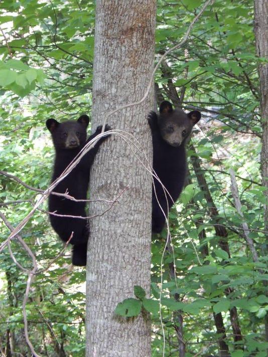 635947688025392308-Bear-cubs-July-2015-Urban-Bear-Study.jpg