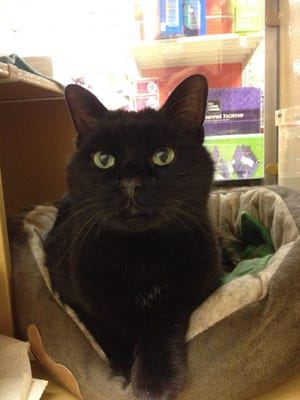 Sage is a beautiful black cat who is looking for her forever home.