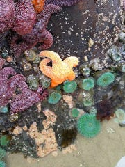 See starfish and sea anemones at free tide pool clinics continue twice a month through July in Lincoln City.