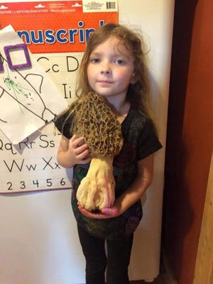 This 12-inche morel was found by Charlie Ware Sunday while he was hunting  in southeast Missouri. PIctured holding the huge mushroom is Ware's 4-year-old daughter, Stella.