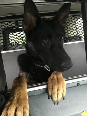 Ithaca Police Department's newest K-9 officer, Rex.