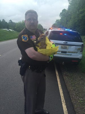 Lincoln County Deputy Grant Peterson holds an injured fawn deputies rescued Sunday on Lincoln County C in the town of Schley.