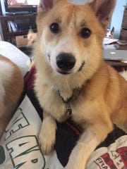 Spirit, a buhund mix, was taken from a Cottrellville Township hoarding situation in June. She is available through the National Icelandic Sheepdog Rescue Alliance.