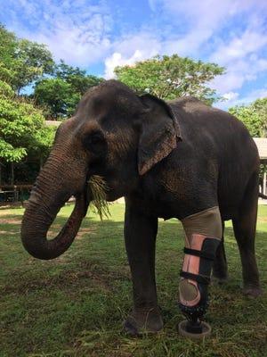 Asian elephant Motala, seen here, wearing her latest prosthetic leg.