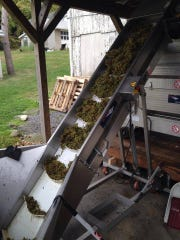 Grapes are shown going up the elevator to the crusher/de-stemmer at Palaia Winery.