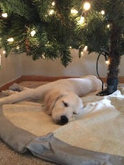 A dog naps under a Christmas Tree.