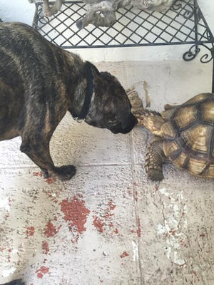 Soup, the extra large tortoise was last seen walking west on Ridge Drive in Pine Ridge Estates. Family has had her since she was a hatchling and desperately miss her. Her home is in Seagate, on Myrtle Terrace.