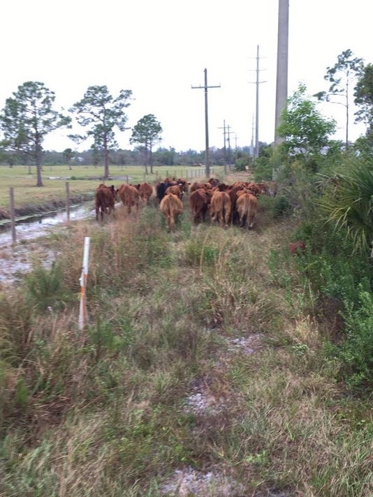 636168927370067972-Cows.jpg