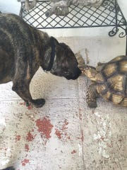 Soup, a large tortoise, was last seen walking west on Ridge Drive in Pine Ridge Estates. Soup's family has had her since she was a hatchling and desperately miss her. Her home is in Seagate, on Myrtle Terrace.