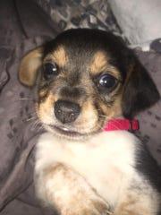 Willa, the beagle puppy