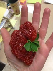 Fruit Club strawberries come from a grower in Florida.