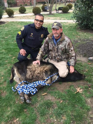 Clarksville police officers catch a loose calf at Austin Peay State University Jan. 27, 2017.
