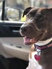 Caitlyn, the Staffordshire bull terrier mix, is shown after healing from having electrical tape wrapped around her muzzle for an estimated 36 hours.