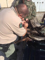 TWRA officer Greg Barker measures the spurs on the potential state record turkey Cord Maddox killed in Henry County.