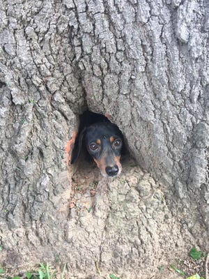 Rocco, a dachshund, stuck in a Salem, Kentucky tree. He was rescued by two state police troopers and a firefighter.
