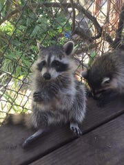 Mikey and Andy, a pair of raccoons were saved as cubs and are now grown.