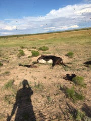Cows were found shot dead on Aug. 1 at an Eddy County