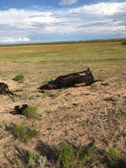 Cows were found shot dead Aug. 1 at an Eddy County
