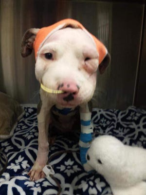 A pit bull puppy was found severely injured in Kimball Township Sunday.