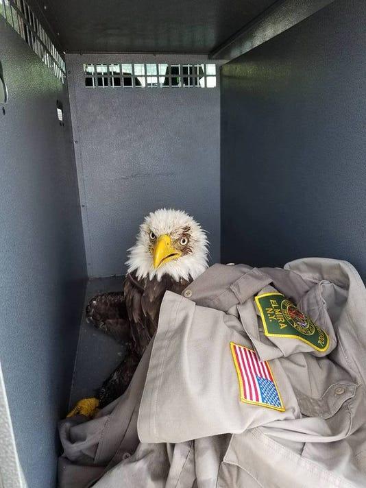 636384797944412064-bald-eagle.jpg