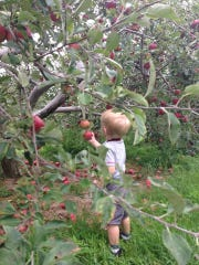 Food writer Sarah Griesemer's son, Nathan, picks apples at Battleview Orchards in Freehold Township.