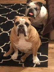 Sadie and Chubbs, bulldogs rescued by MidAtlantic Bulldog Rescue