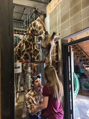 Cody Hall surprised Makayla Blakey by proposing with the help of Dickerson Park Zoo's giraffe Mila.