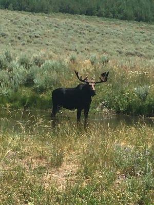Photo of moose in Elko County in 2017.
