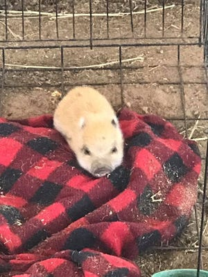 Owners at Balzano Vineyard and Pumpkin Patch are hoping for the safe return of two teacup micro mini pigs which were stolen Wednesday afternoon from the Carlsbad winery.