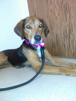 """Kimball Township resident Nina Weaver's family adopted coonhound Delilah during Saturday's """"Empty the Shelter"""" adoption event. Delilah is pictured at the veterinarian's office."""