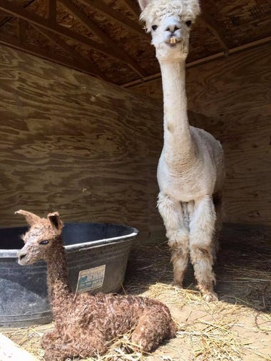 A male baby alpaca was born on August 17 at Animal