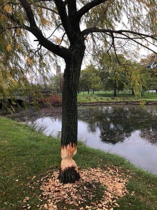 636464448585936590-Belle-Isle-willow-gnawed-beaver.jpg