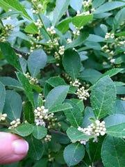 Ilex verticillata (Winterberry) male