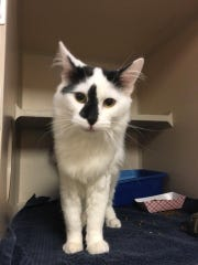 Marcos is an adult male domestic medium hair with beautiful