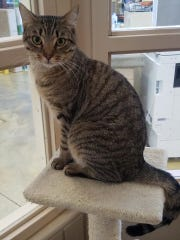 Playful kitties, such as Friskies, are looking for 'furever homes' through the Humane Society of St. Lucie County.