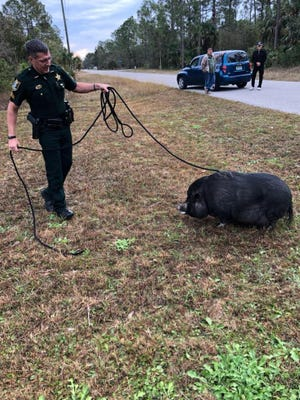 Lee County Sheriff's Office Sgt. Dave Drum corralled a black pig that was roaming around Lehigh Acres on Saturday. The LCSO is looking for the animal's owner.