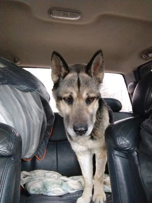 Marty, a 7-year-old shepherd/huskie mix, rides home from the vet's office.