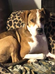 Sandy is a 2-year-old spayed-female hound mix. She