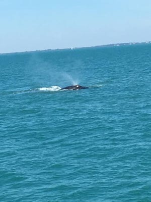 A whale can be seen Friday 100 yards off the Lady Chris party boat out of Taylor Creek Marina in Fort Pierce.