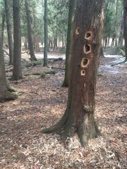 Pileated woodpecker holes.