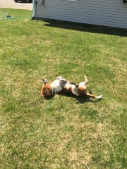 Winslow the basset hound rolls in the grass on Saturday.