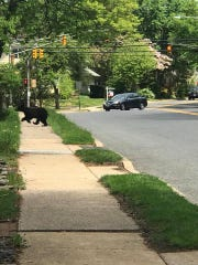Just one day after the Rockaway bear stole and ate cupcakes, another black bear was spotted walking around in Ridgewood.