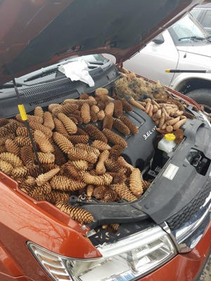 Kellen Moore, of Gaylord, Mich., popped the hood of his car to find these pine cones stuffed around his engine. His friend posted the image to Facebook on Friday, May 11, 2018.