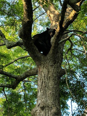 A bear was spotted in Simpsonville.