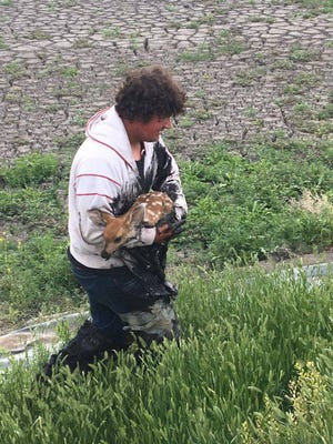 Fort Benton city crew member Joe Bauer pulled a fawn out of the town's sewer lagoon Wednesday.