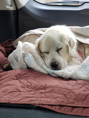 Micah, a Great Pyrenees, was cared for by a Basile woman after he was found injured.