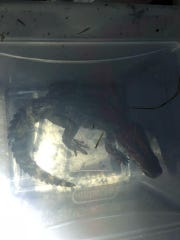 Authorities captured a caiman along a road in Hamblen County on Monday, June 25, 2018.