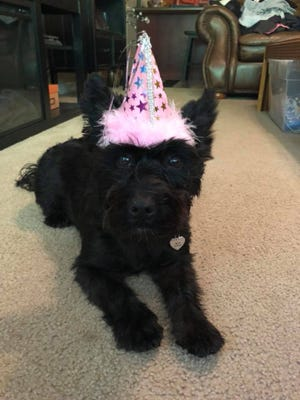 Jovie, seen here celebrating her recent second birthday, is not fond of the noise of fireworks. Her owner sedates her with Benadryl to help her get through the Fourth of July.
